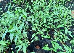 Aquilaria Crassna (Oudh) Plants